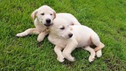 Filhotes Labrador (Macho) 6x84 s/juros