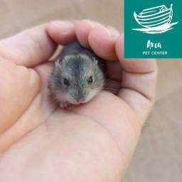 Hamsters Anões Russos
