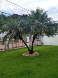 Árvore fênix para jardim