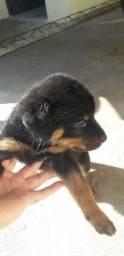 Título do anúncio: Filhotes de rottweiler à venda