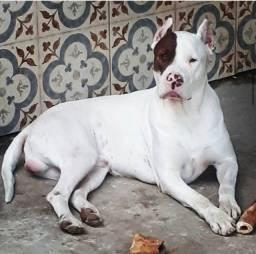 Título do anúncio: BanDog Foxhound Americano e Dogo Argentino