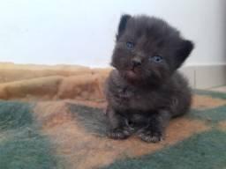 Título do anúncio: Gato persa com Himalaia