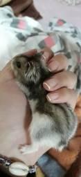 Vende-se hamster Com gaiola