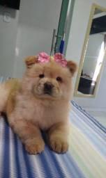 Filhote de cachorro chow-chow