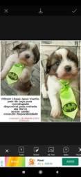 Título do anúncio: Filhotes Lhasa Apso
