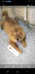 Título do anúncio: Cachorro chow chow