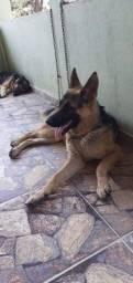 Título do anúncio: Cachorros pastor alemão