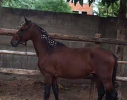 Título do anúncio: Cavalo manga larga marchador !