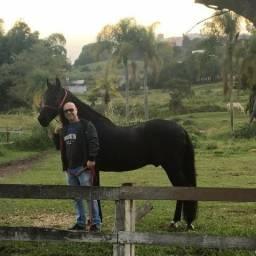 Cavalo mangalarga marcha picada