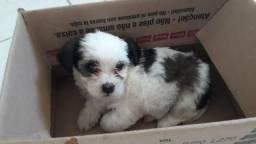 Lhasa Apso Fêmea Filhote