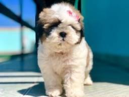 Shih Tzu os mais lindos filhotes Fêmeas Mini com vacina e pedigree