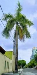 Vende - se Palmeira imperial