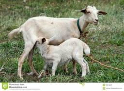 Estou doando cabra com cria