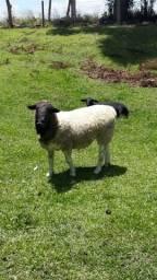Vendo carneiro reprodutor ou troco por ovelhas