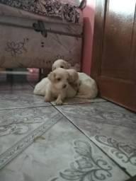 Cachorro Maltês+Poodle