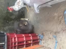 Coelha chinês cinza mais Gaiola
