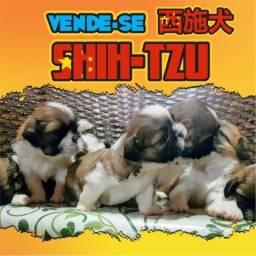 790fdf6ab4 Shih Tzu Filhotes! Macho ou Fêmea! Puro