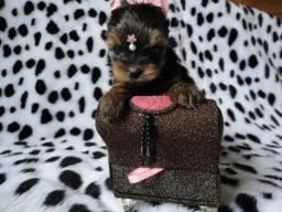 63640b144a Disponiveis filhotes Yorkshire Terrier