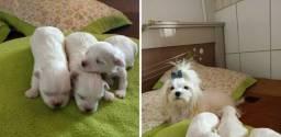 Filhotes raça maltês macho micro branco neve para reserva com garantia veterinária