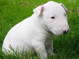 Pet da madre tem filhotes de bull terrier