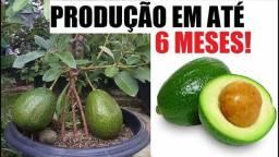 Últimas unidades de abacate enxertado