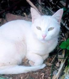 Doação de 3 gatas brancas 5 meses