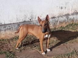 Bull Terrier - Filhotes Cuiabá