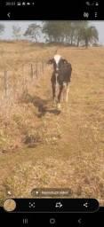 Título do anúncio: 2 vacas parida e 1 amojadinha