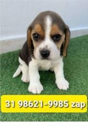 Título do anúncio: Cães Filhotes Criação Profissional em BH Beagle Lhasa Yorkshire Shihtzu Maltês Basset