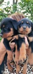 Título do anúncio: Excelente filhotes de Rottweiler
