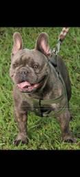 Bulldog francês BLUE cobertura