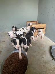 Título do anúncio: Filhote de dog alemão dinamarquês