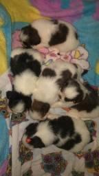 Filhotes de shitzu disponível para venda