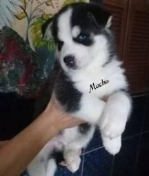 Título do anúncio: Cachorros Husky Siberiano
