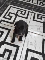 Título do anúncio: Filhotes de Labrador legítimo