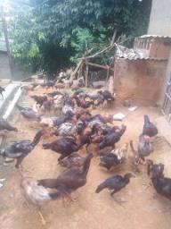 Galos e galinhas de raça!