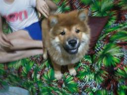 Chow chow 3meses