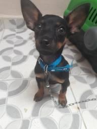 Cachorrinho piche vai fazer 3 meses