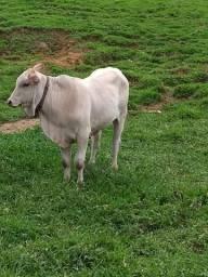 Vendo touro nelore