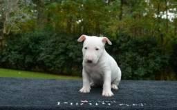 Bull Terrier Inglês (11)96425-8014 Alexandre