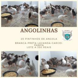 Pintinho de Angola