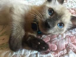 Doa- se gatinho siamês filhote