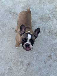 Título do anúncio: Vendo Bulldog Francês
