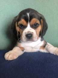 Beagle filhotes lindos pronta entrega com pedigree e vet