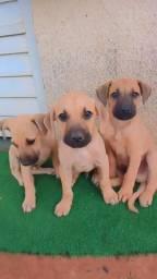 Vende-se 3 filhotes da raça labrador