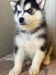 Título do anúncio: Husky siberiano com pedigree e microchip