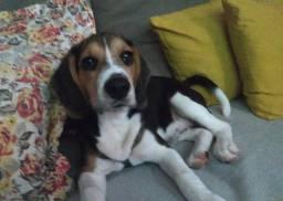 Título do anúncio: Cachorro Beagle filhote