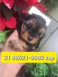 Título do anúncio: Cães Filhotes em BH Yorkshire Basset Lhasa Maltês Shihtzu Beagle