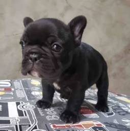 Título do anúncio: bulldog francês
