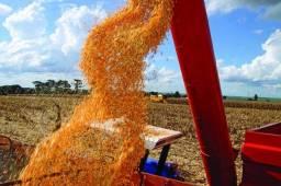 Título do anúncio: Milho em Grãos (Lsrgrãos- MT)